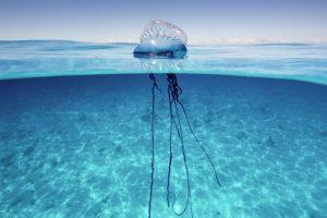 Água-viva curtindo o mar da Safe Sea sem ser encomodada